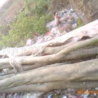 【正宗野生苗15公分】大量供应野生小叶鸡爪槭