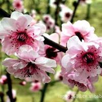 本基地提供美人梅及各种规格花灌木,乔木,樱花,红叶碧桃,月季厂