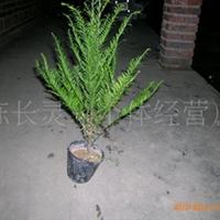 供应:福建花卉 永福花卉  青青花卉 基地批发 红豆杉苗