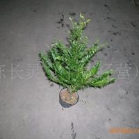 供应:福建花卉 永福花卉  青青花卉 基地批发 红豆杉苗厂