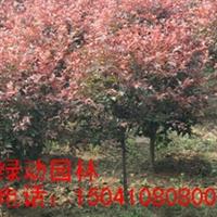 供应密枝红叶李球 红叶李 密枝红叶李小苗 密枝红叶李价格