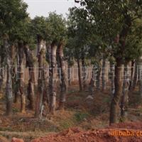 大量供应湖南大樟树 品�N�R全 �湫��美