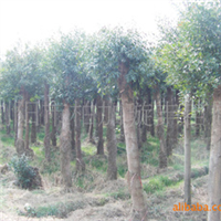 湖南行道大树移栽15公分杜樱树