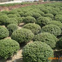 大量供应湖南绿化苗木60杜鹃球