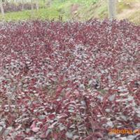 供应红桎木1年生小苗红花桎木小苗