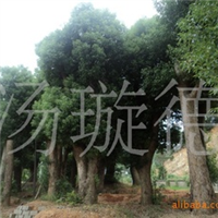 大量供应湖南大树--绿化树-