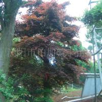 汤璇德大量提供湖南行道树枫树树