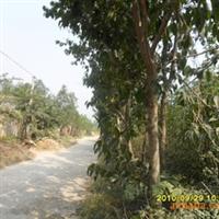 供应绿化乔木杜仲树5-12cm