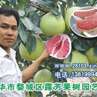 【超低价出售】出售红肉蜜柚苗、白肉蜜柚苗 蜜柚树苗 红心柚子苗