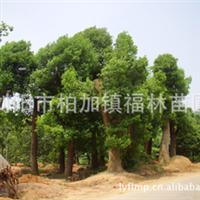 浏阳苗木基地大量供应绿化苗木 优质香樟树