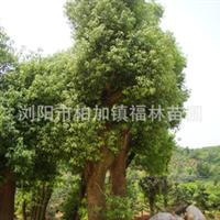 【乔木】自产自销各种规格香樟树