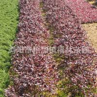 出售各种规格红花继木  量大送货 价格优惠