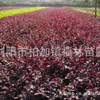 供应低价直销园林花卉绿化苗木红花继木