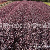 出售大量优质园林绿化苗木红花继木 成活率高