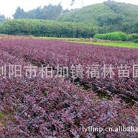 供应根系发达无病虫价格优品种全的苗木红花继木