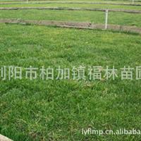 福林苗圃长期供应地毯式草皮 天泉1、3、4号 品质保证