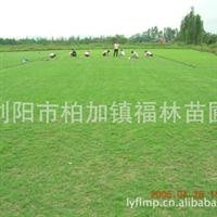园林景观绿化草坪草皮台湾青草皮 福林苗圃专业供应出售