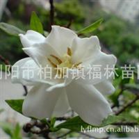 供应出售多种规格优质园林绿化灌木小叶栀子