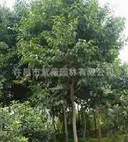 供应绿化乔木杜仲树10-12cm  规格齐全