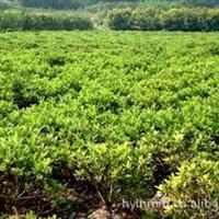 低价大批量直销彩色绿化绿篱花卉毛鹃厂