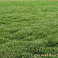 句容批发优质马尼拉草坪 护坡草坪 别墅草坪
