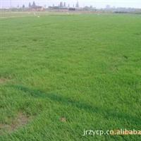 草坪合作社批发马尼拉草坪-百慕大草坪-护坡绿化草坪