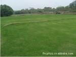 批发优质草种 矮生百慕大 天堂草 高羊茅 无土草坪卷 马尼拉草坪