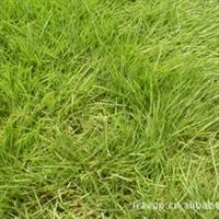 大量批发马尼拉草坪 果岭草 天堂草 草种 量大从优