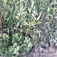 供应法国冬青 珊瑚树  ,普通冬青,万年青,杜鹃*