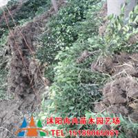 供应法国冬青 珊瑚树  ,普通冬青,万年青,杜鹃*厂
