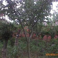 绿化苗木千头椿,杜仲,纹母,厚朴,木瓜,挪威枫,