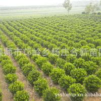 万年青苗圃基地供应北京  大叶黄杨球  易剪裁  寿命长 欢迎订购厂