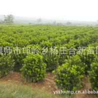 万年青苗圃基地供应北京  大叶黄杨球  耐修剪 寿命长厂