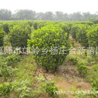 万年青苗圃基地  供应北京大叶黄杨球  质量上乘 欢迎订购厂