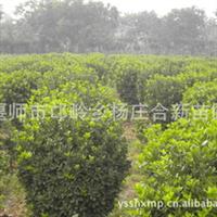 万年青苗圃基地供应北京  大叶黄杨球  易剪裁  寿命长 欢迎订购