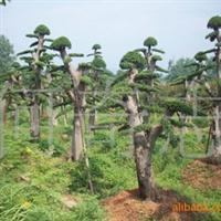 供应乔木榆树