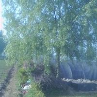 供应朴树8-30cm(全枝全冠土球饱满)