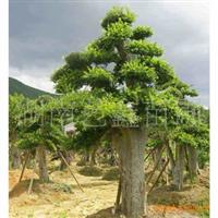 长年低价供应榆树盆景  古桩榆树