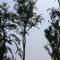 供应朴树/乔木/绿化苗木/四川花木/温江苗木