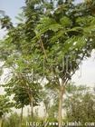 供应园林绿化苗木——合欢