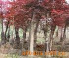 供应优质苗木五角枫