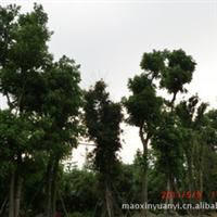 出售苗木,批发大树生、熟货皂角,朴树,香樟,黄角树