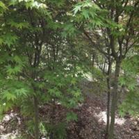 供应大量优质绿化苗木鸡爪槭(图)