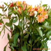鲜花批发花店配花、供应水仙百合,康乃馨,紫罗兰,猫眼等