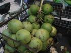供海南水果椰子去绿皮而成的形状好看的椰青,9个每件装