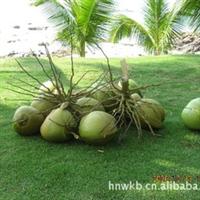 供应海南产新鲜青椰子厂