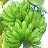 供海南产特级的新鲜的香蕉厂
