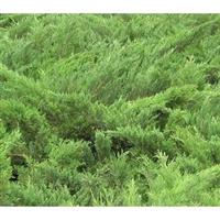 常年大量供应优质绿化苗木