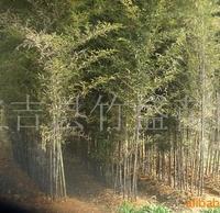 供应紫竹等观赏竹