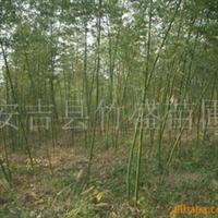 大量供应绿化苗木  淡竹紫竹早园竹毛竹等观赏竹